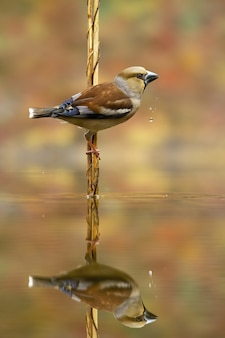 Elegant female hawfinch, coccothraustes coccothraustes, drinks water with droplets fall from beak. reflection of a garden bird above pond in autumnal nature with copy space.