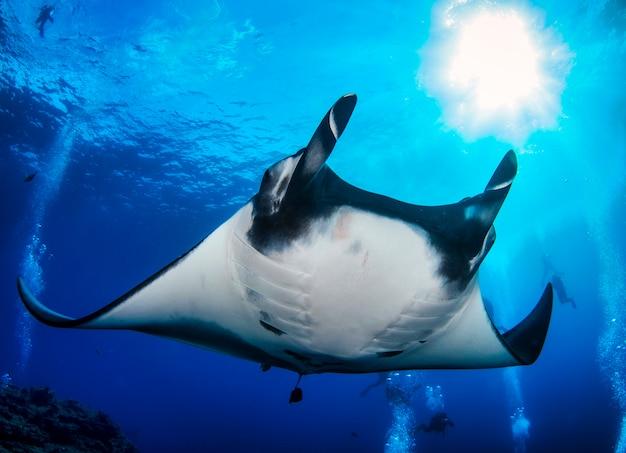 Элегантный скат-манта плавает под водой. гигантский океанский скат питается планктоном. морская жизнь под водой в голубом океане. наблюдение за животным миром. подводное плавание с аквалангом в красном море, побережье африки