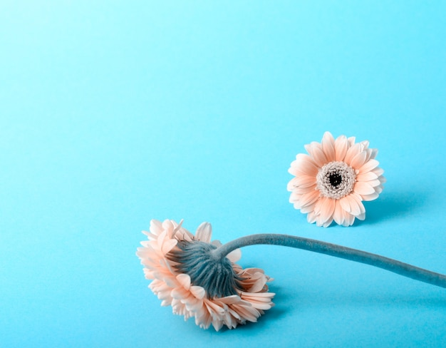 Elegant pink gerbera on a turquoise color background