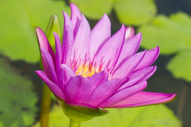 水の中のエレガントなピンクのユリの花