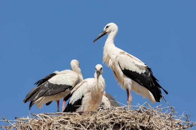 Elegant storks in the nest