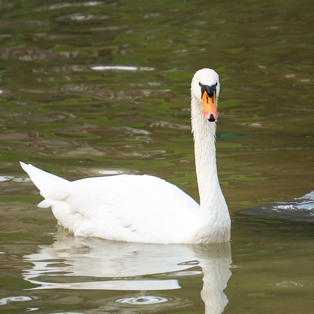 The elegant white swan in the lake in the park
