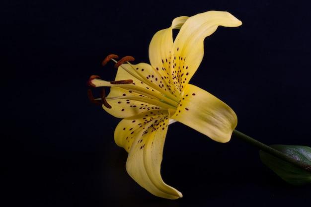 우아한 노란색 호랑이 또는 표범 백합(창 모양의 백합)은 어두운 검정색 배경에 클로즈업됩니다. 포스터를 위한 최소한의 사진입니다.