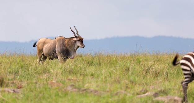 Антилопа эленд в саванне кении между разными растениями