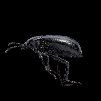 Eleodesまたはpinacateビートルズの孤立したマクロ写真
