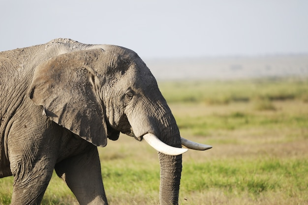 Elefante nel parco nazionale amboseli, kenya, africa