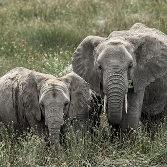セレンゲティ国立公園の象と子牛