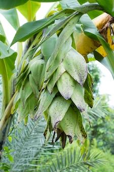 Elephant banana, ensete glaucum or musa glauca roxb