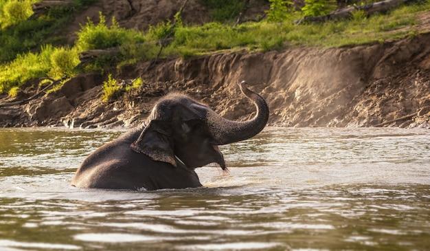 Слон, купающийся на реке в лесу, провинция канчанабури, таиланд