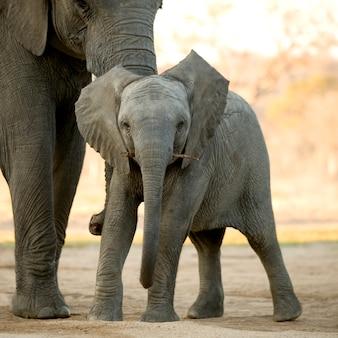 象の子牛と彼の母親