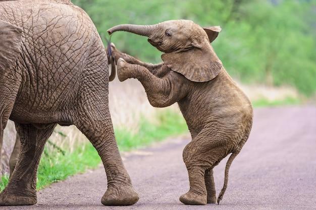 立って母親を押す象の子牛