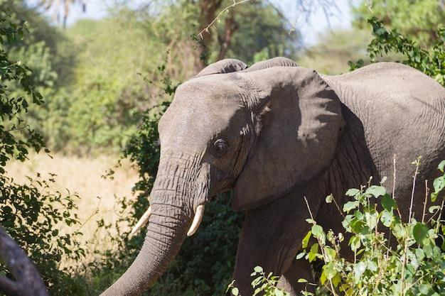 象のクローズアップ、タランギーレ国立公園、タンザニア、アフリカ