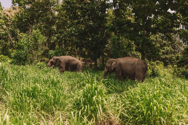 Elephant couple in the middle of the jungle surrounded by green grass