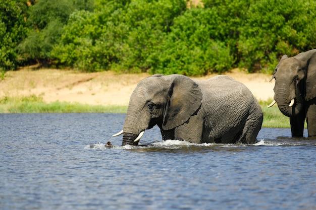 Слон пьет в реке