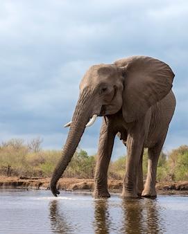 Питьевая вода слона из озера