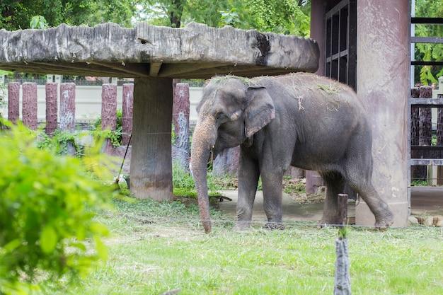 Elephant in dusit zoo, thailand.