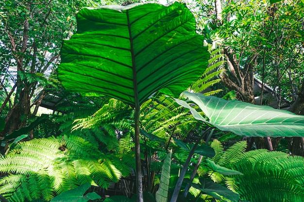象の耳。東南アジアの熱帯雨林にある熱帯植物のalocasiamacrorrhizosの葉。緑の熱帯の葉のヤシ、シダ、観賞植物の背景の背景の暗い色調