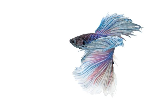 Elephant ears betta fish, blue and white halfmoon betta splendens or siamese fighting fish isolated on white