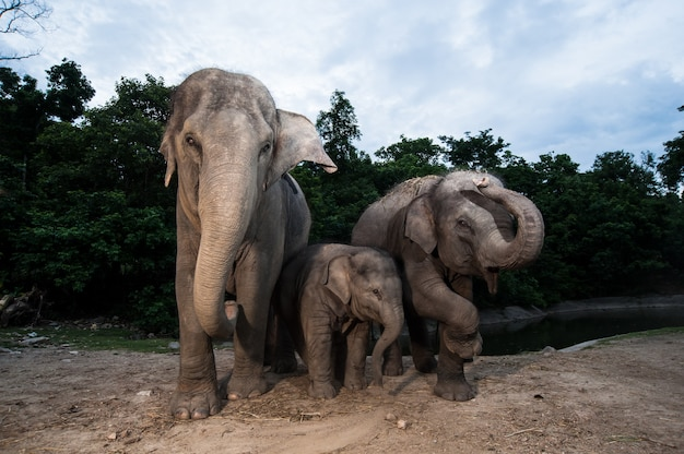 Elephant family in thailand