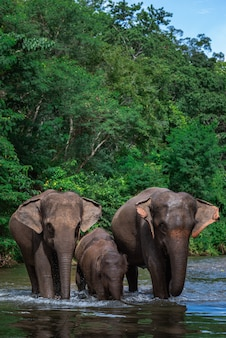 Elephant family in water