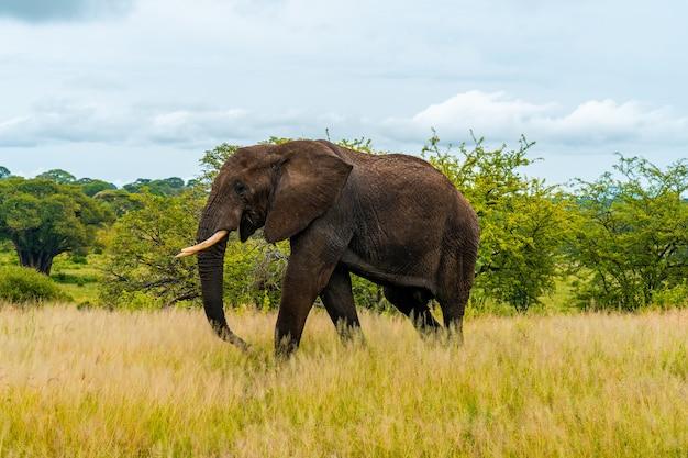 Слон в лесу в танзании