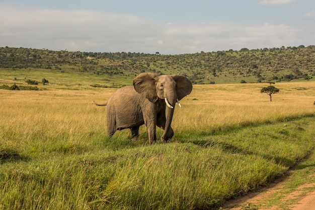 Слон в африке гуляет по траве в национальном парке тарангире