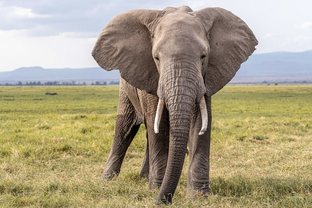 Tarangire 국립 공원에서 잔디를 걷는 아프리카 코끼리