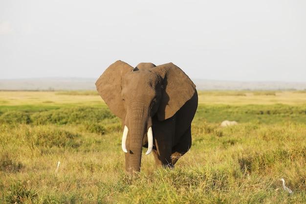 Слон в национальном парке амбосели, кения, африка