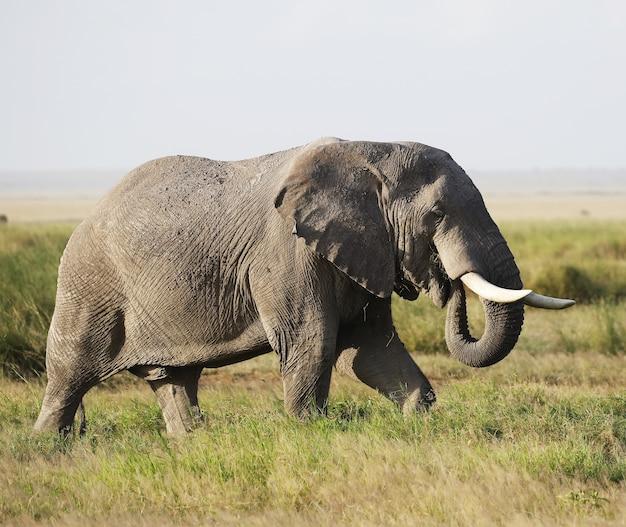 アンボセリ国立公園、ケニア、アフリカの象