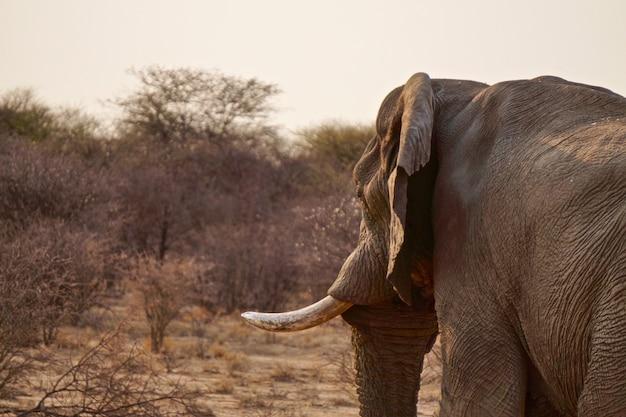 Слон в заповеднике эринди - намибия