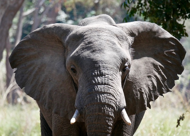 Слон в нижнем замбези