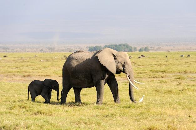 ケニアの国立公園の象