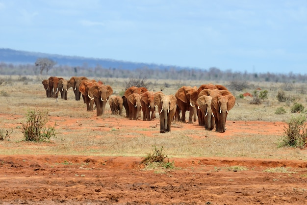 Слон в национальном парке кении