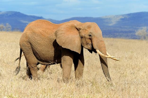 ケニア国立公園の象 Premium写真