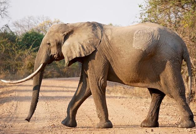 Слон в национальном парке южная луангва