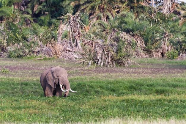 Слон в зеленом болоте в кении Premium Фотографии