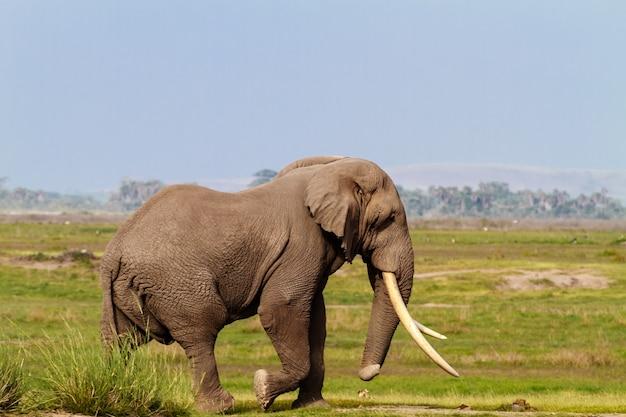 Слон в зеленом болоте в кении