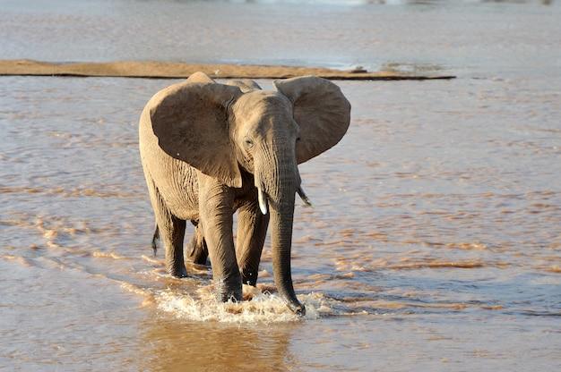 ケニアのアフリカ国立保護区のゾウ