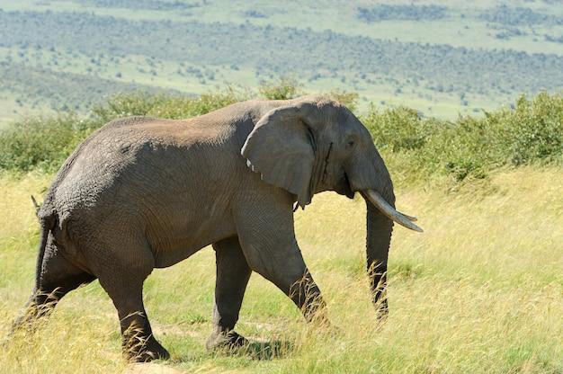 ケニア、アフリカ国立保護区の象