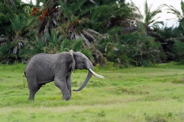 Слон в национальном заповеднике африки, кения