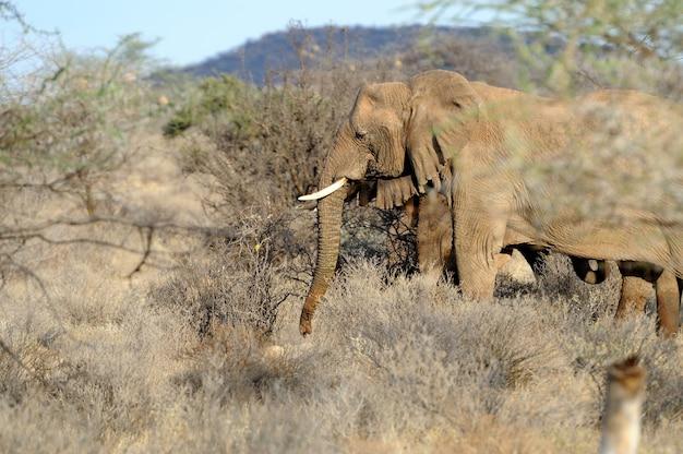 野生の象-ケニア国立公園