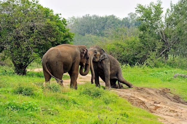Слон в дикой природе на острове шри-ланка