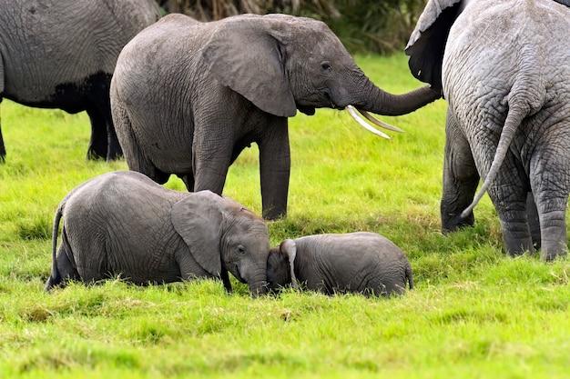 アフリカのサバンナの自然生息地にいる象
