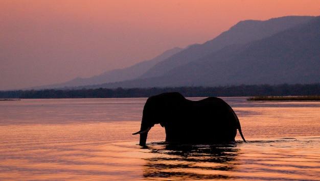 象はピンクで日没時にザンベジ川を渡っています