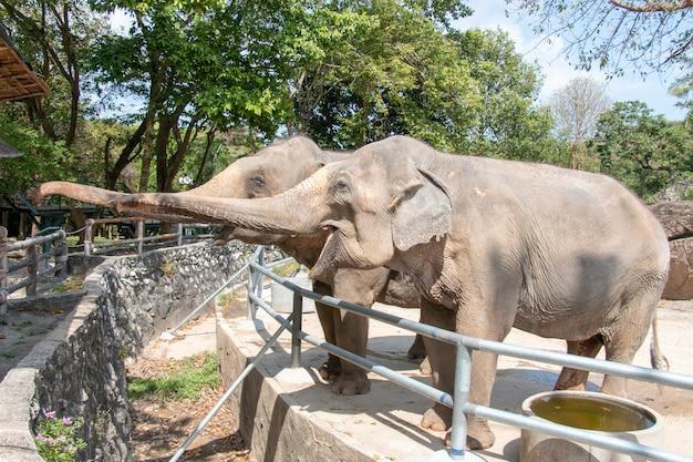 象は食糧のために彼らのトランクを持ち上げています