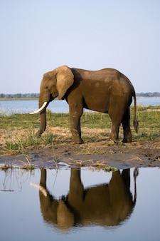 象がザンベジ川の隣に立っており、水に反射しています