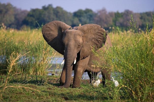ザンベジ川の近くの芝生の上に象が立っています