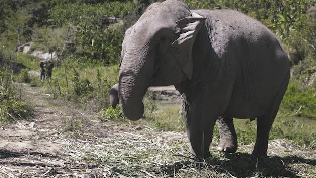 Слон джунгли заповедник животных естественная среда обитания таиланд провинция чиангмай огромное млекопитающее в