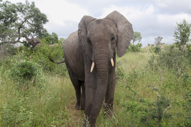 An elephant looking at the camera