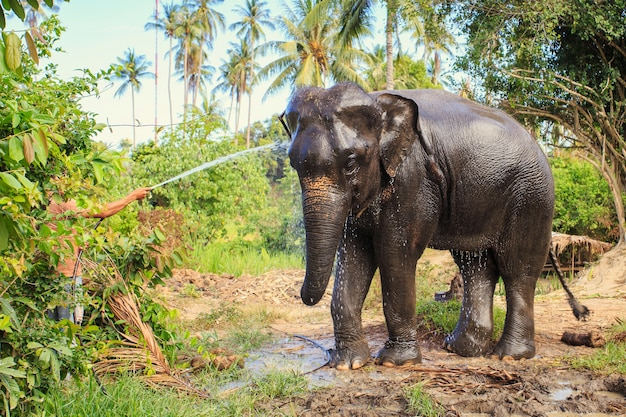 Elephant make shower in farm of thailand